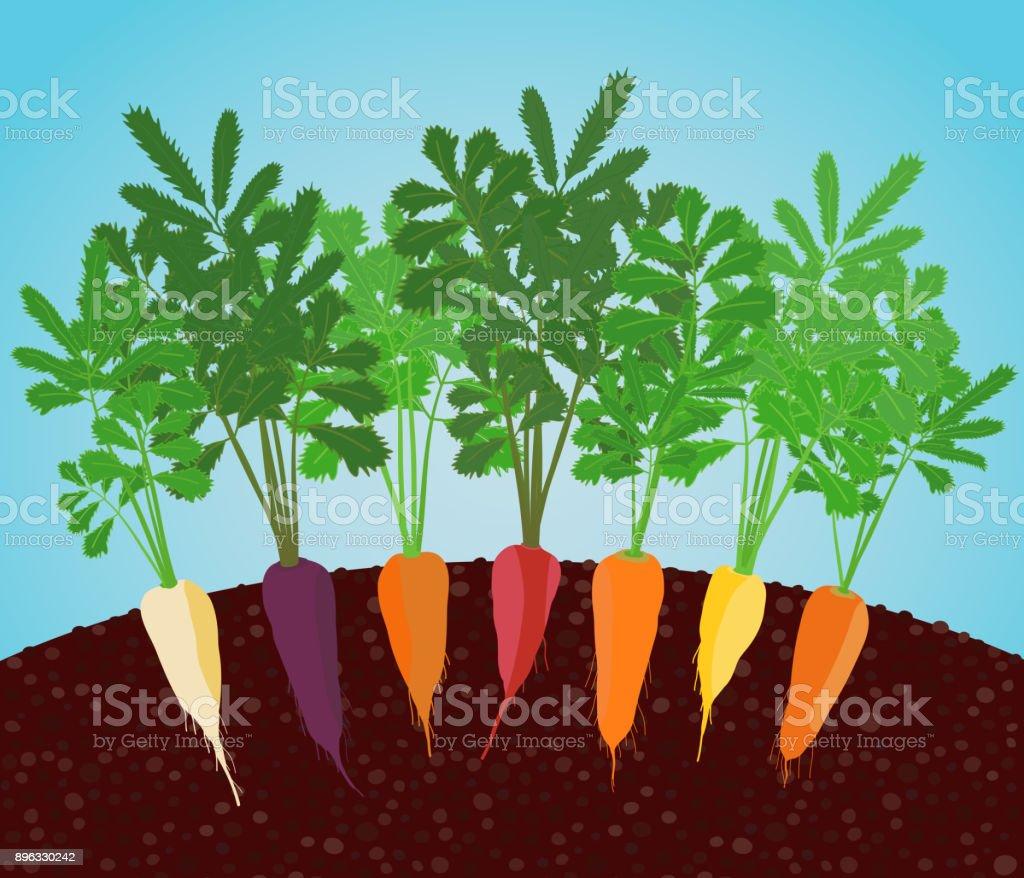 Rainbow Carrots Illustration. Growing vegetables. vector art illustration
