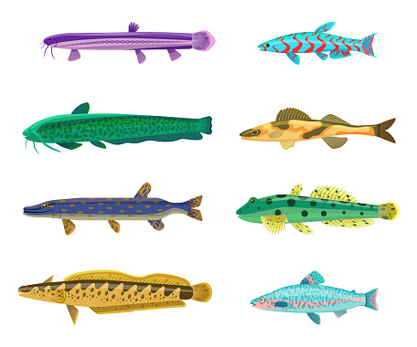 Rainbow Trout and Cirrhitops Vector Illustration