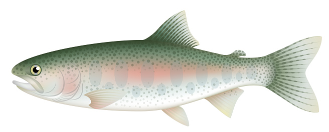 Rainbow trout, isolated on the white background.