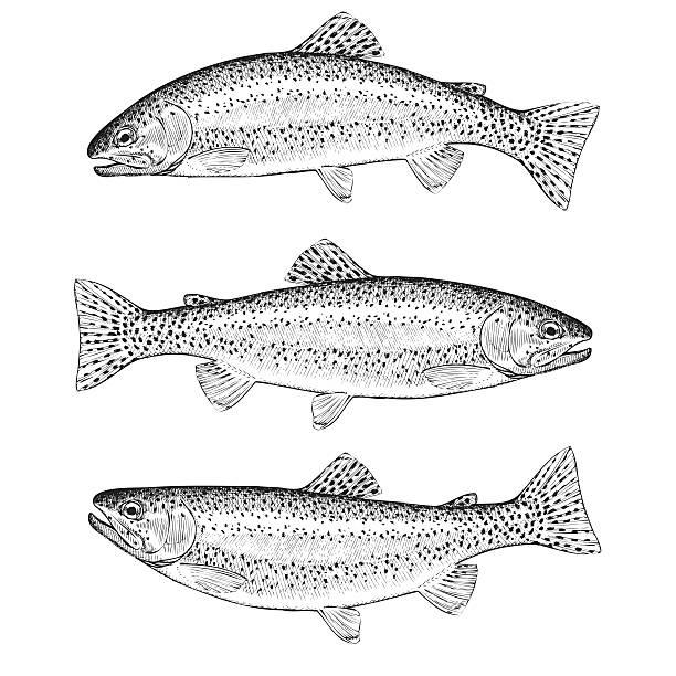 illustrazioni stock, clip art, cartoni animati e icone di tendenza di trota iridea - trout