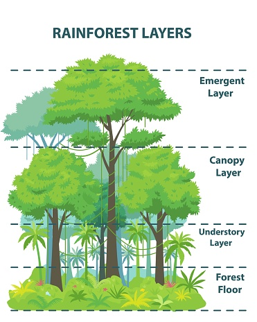 Rainforest layers educational banner or poster