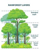 istock Rainforest layers educational banner or poster 1298877196