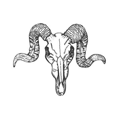Ram skull hand drawn vector sketch.