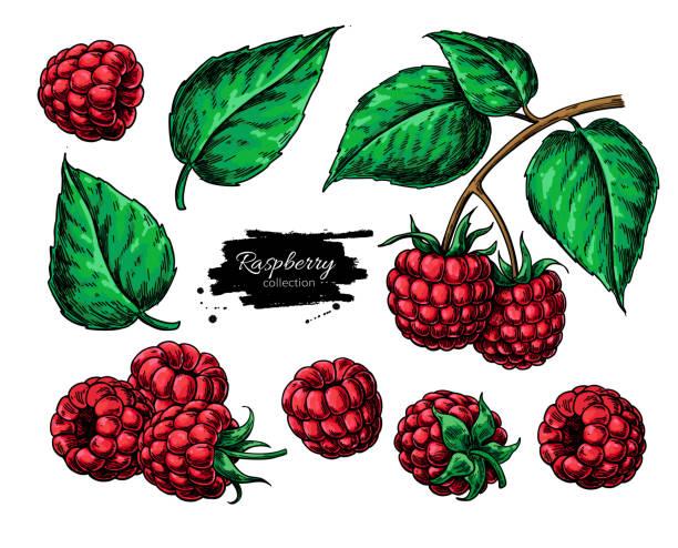 bildbanksillustrationer, clip art samt tecknat material och ikoner med hallon vektorritning. isolerade berry gren skiss - hallon
