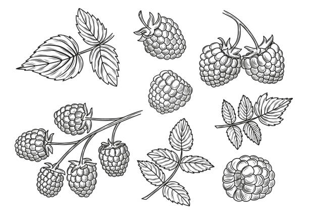 Raspberry vector drawing set. Isolated berry branch and leaves sketches. Raspberry vector drawing set. Isolated berry branch and leaves sketches. berry fruit stock illustrations