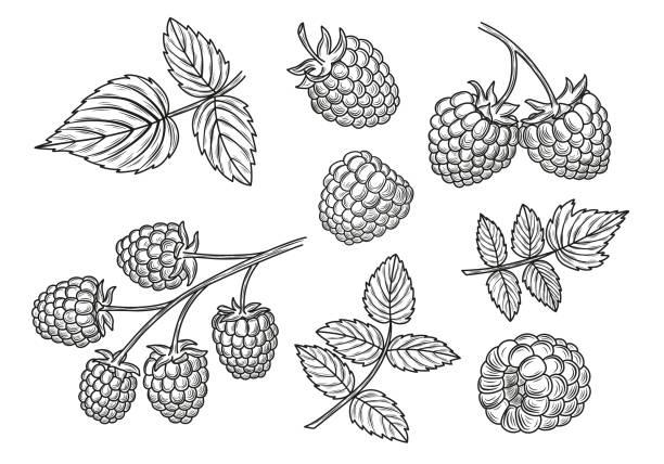 bildbanksillustrationer, clip art samt tecknat material och ikoner med hallon vektorritning set. isolerade berry gren och bladen skisser. - hallon