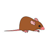 Rat isolate on white background, Mouse is rodents that cause dirt and may be carriers of disease, The brown mice with pink color nose and tail