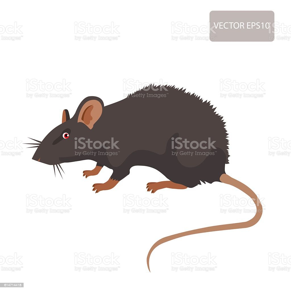 rat vector rat isolated on white background stock illustration download image now istock https www istockphoto com vector rat vector rat isolated on white background gm614714418 106462941