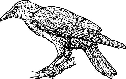 Raven illustration, drawing, engraving, ink, line art, vector