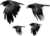 Engraving illustration of two ravens.