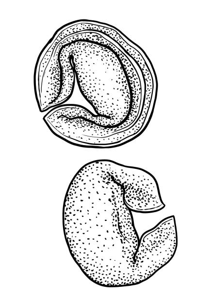 Ravioli, tortellini pasta illustration, drawing, engraving, ink, line art, vector Illustration, what made by ink and pencil on paper, then it was digitalized. tortellini stock illustrations