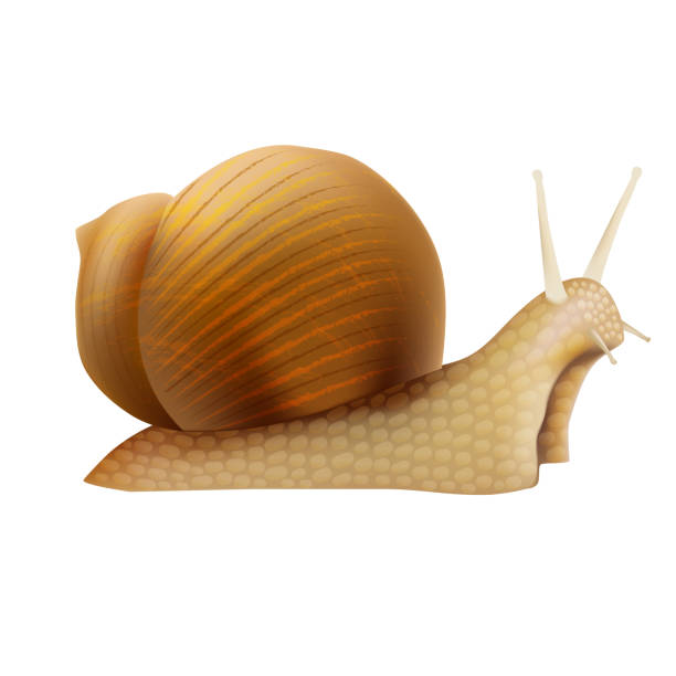 realistic 3d detailed slimy snail with shell. vector - snail stock illustrations