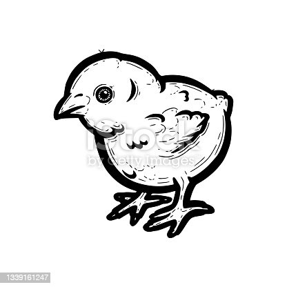 istock Realistic baby chicken outlined in white background. Free grazing chick in the runch. Vector illustration 1339161247