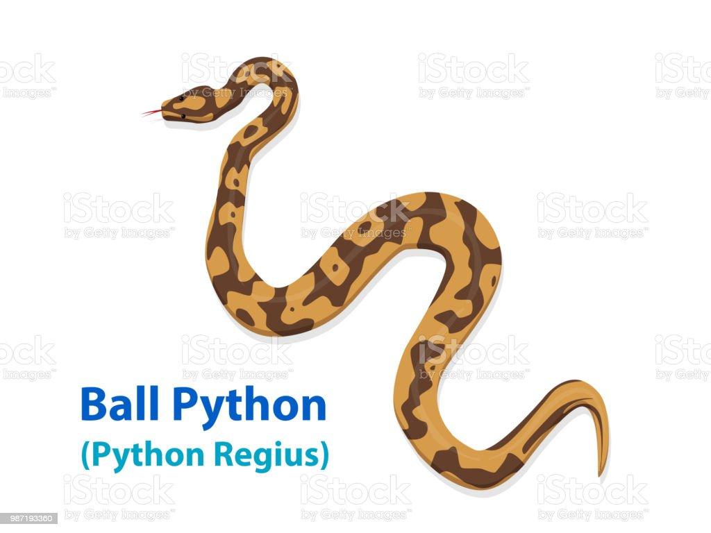 Serpent De Ball Python Réaliste En Vue De Dessus De Vector