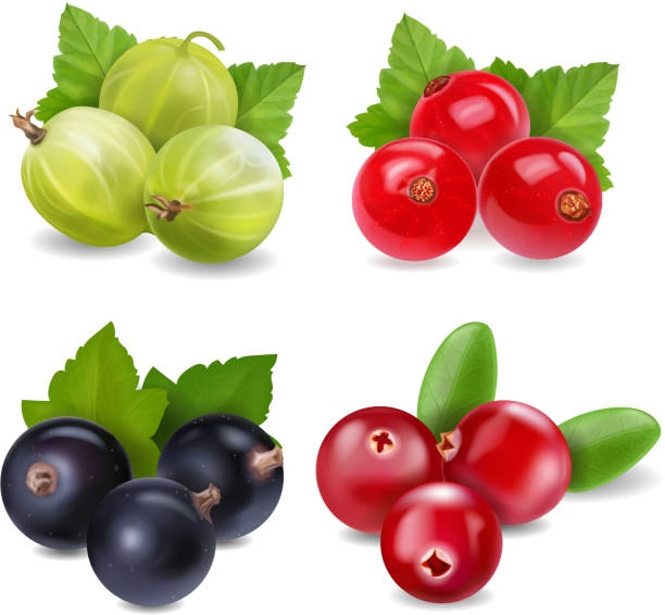 Realistic berries set with cranberry, red currants, gooseberry and black currant on white background isolated Realistic berries set with cranberry, red currants, gooseberry and black currant on white background isolated illustration. black currant stock illustrations