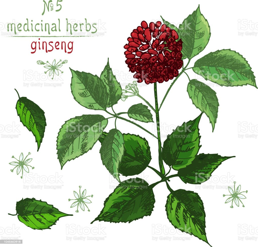 Realistic Botanical Color Sketch Of Ginseng Root Flowers And Berries