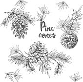 Realistic Botanical ink sketch of fir tree branches with pine cone on white background. Good idea for templates invitations, greeting cards. Vector illustrations