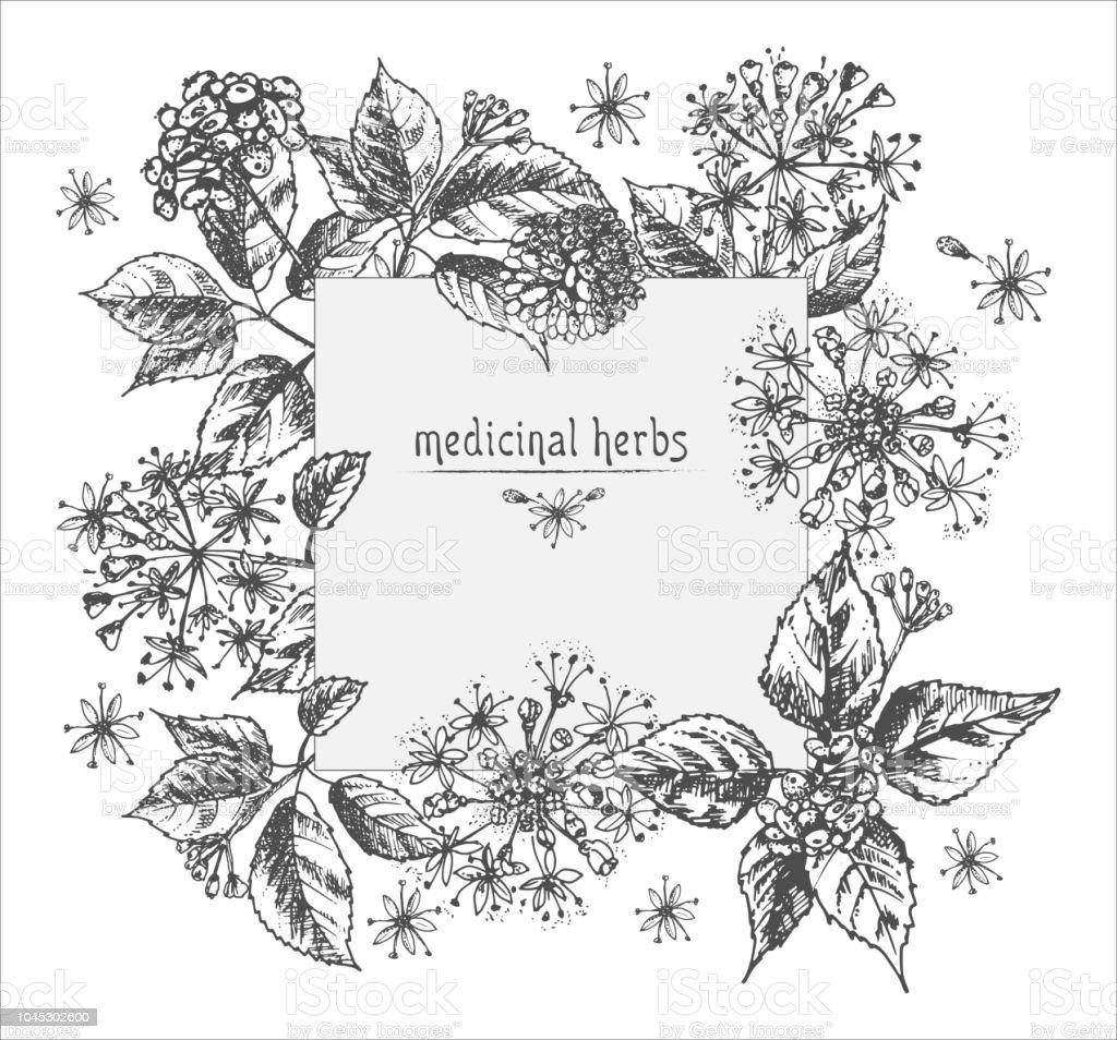 Ilustracion De Dibujo De Tinta Botanico Realista De Raiz De Ginseng