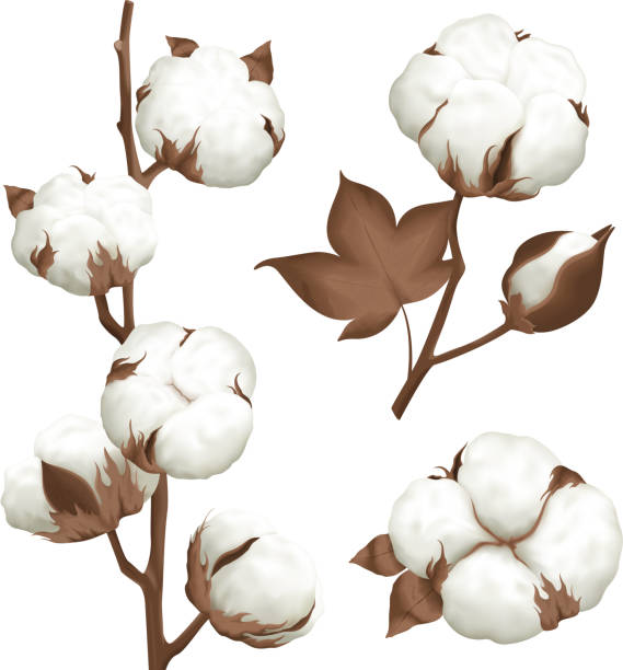 realistic cotton boll set Ripe cotton boll opened seeds case realistic set of 3 plant parts isolated vector illustration cotton stock illustrations