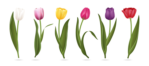 Realistic Detailed 3d Colorful Tulips Buds Set. Vector