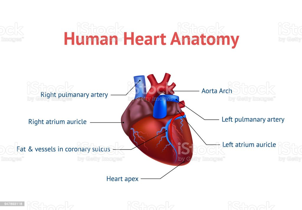 Realistic Detailed 3d Human Anatomy Heart Card Poster Vector Stock ...