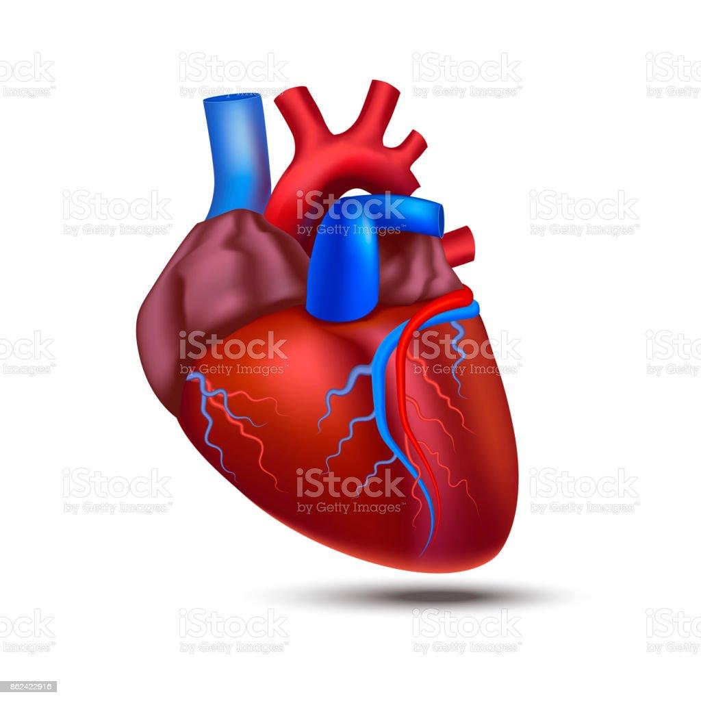 Ilustración de Realista Corazón 3d Detallada De La Anatomía Humana ...