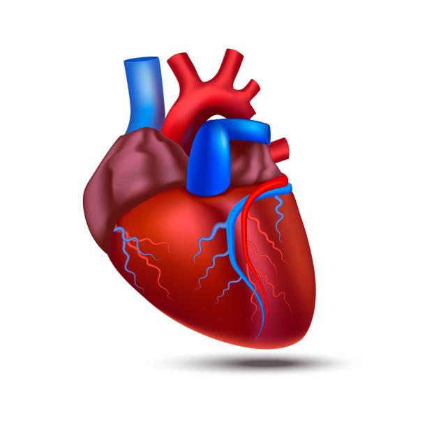 Royalty Free Coronary Artery Clip Art, Vector Images & Illustrations ...