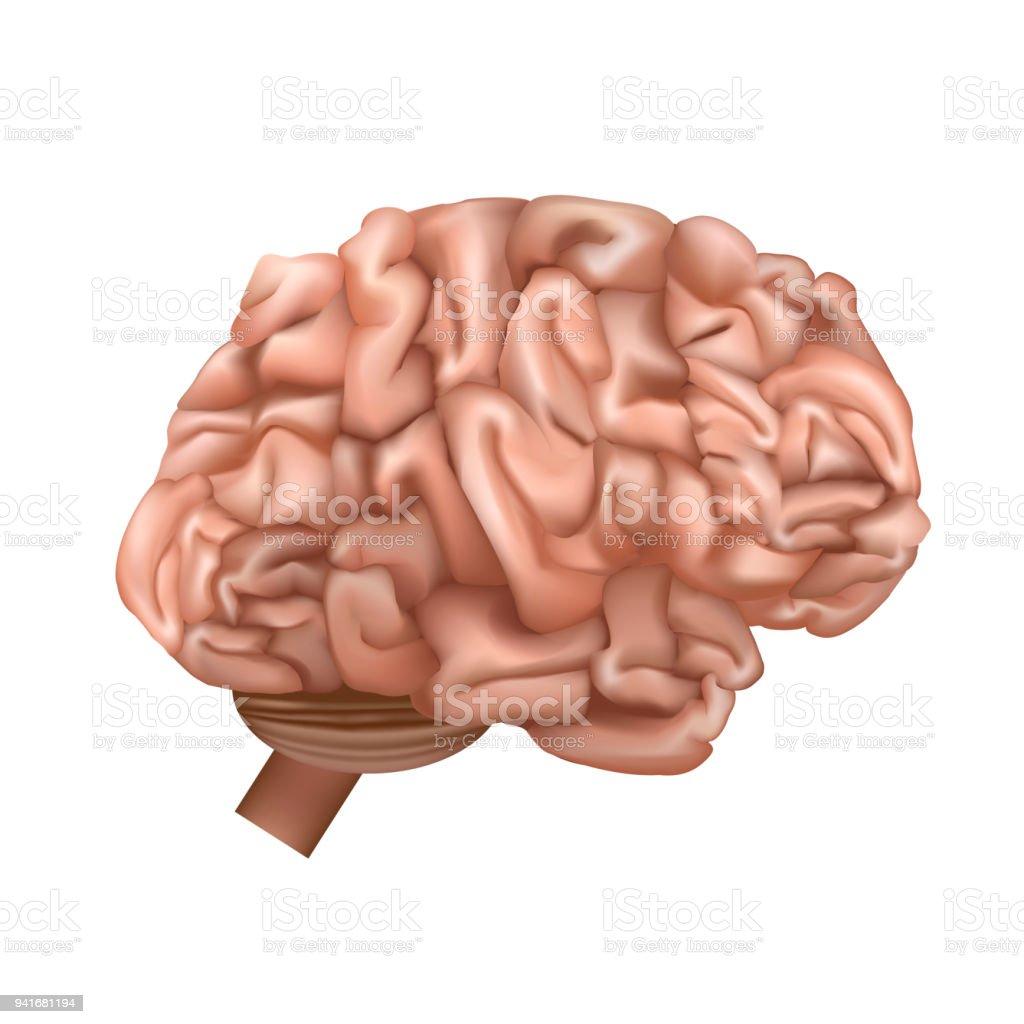 Realistische Detaillierte 3d Menschliche Gehirn Größte Innere Organ ...