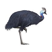Realistic detailed cassowary on white background