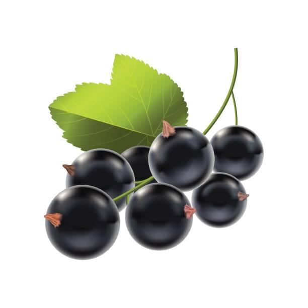 Realistic Detailed Ripe Black Berry Currant. Vector Realistic Detailed Ripe Black Berry Currant Natural Seasonal Summer Food. Vector illustration black currant stock illustrations