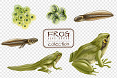 Frog life cycle stages realistic set with adult animal fertilized eggs tadpole froglet transparent background vector illustration