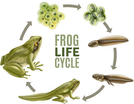 realistic frog life cycle set