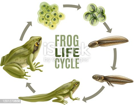 Frog life cycle stages realistic set with adult animal fertilized eggs jelly mass tadpole froglet vector illustration