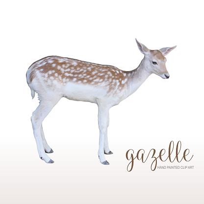 Realistic Gazelle Standing Portrait Isolated. Design element, African Safari Concept, Clip Art.
