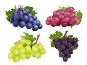 Realistic grapes. Vector set of various grape variety. Collection of grape green and purple illustration