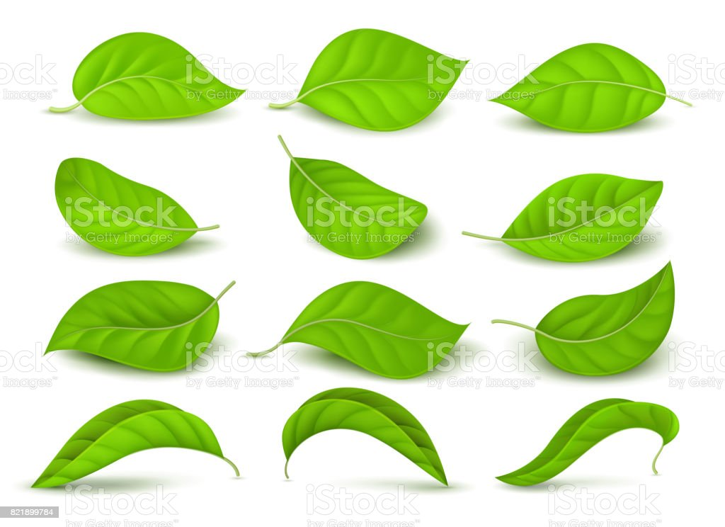 Realistic green tea leaves with water drops isolated on white vector set vector art illustration