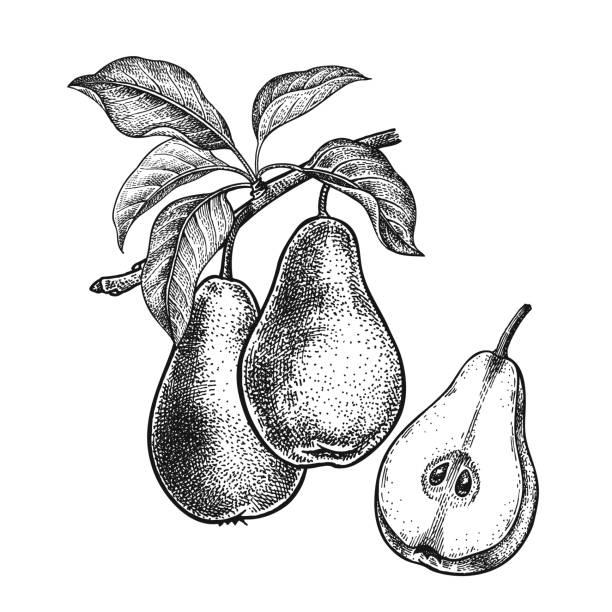 Realistische Hand Zeichnung Birnen. – Vektorgrafik