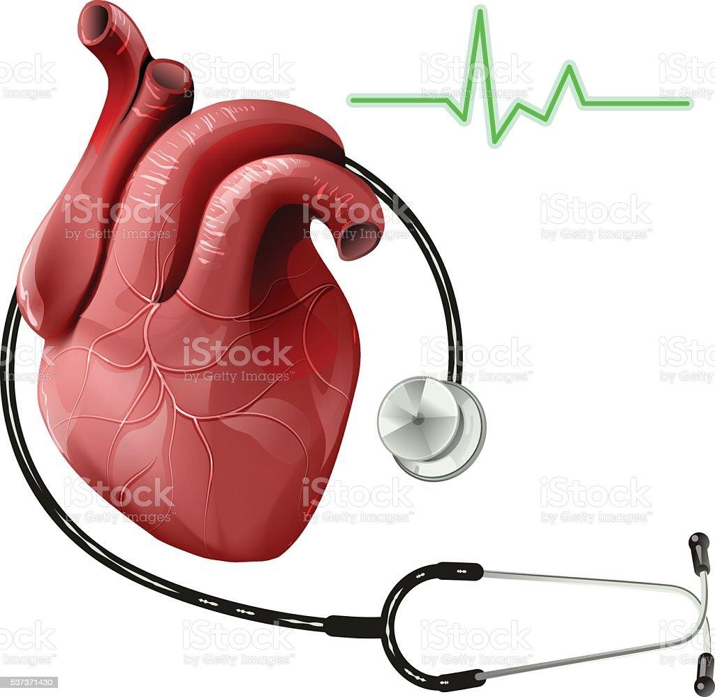 Realistische Menschliches Herz Und Stethoskop Vektor Illustration ...
