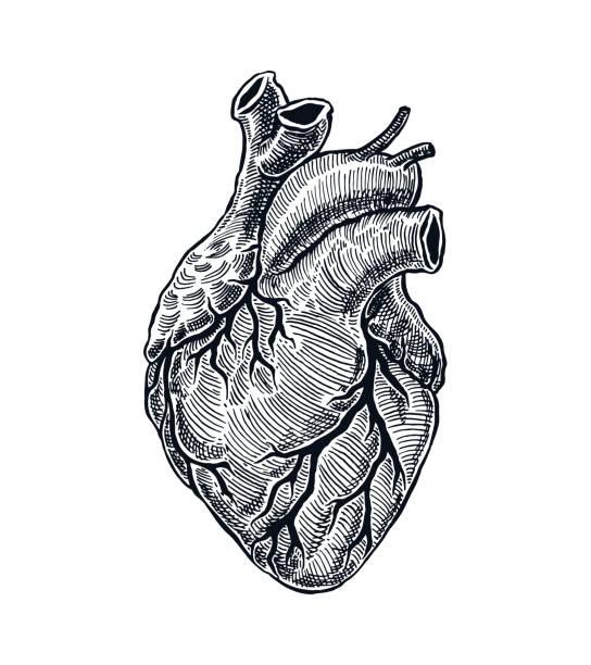 ilustraciones, imágenes clip art, dibujos animados e iconos de stock de corazón humano realista - biología