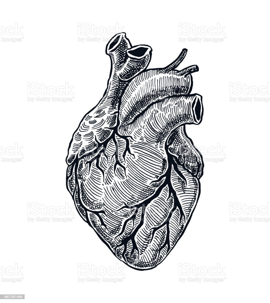 Realistic Human Heart vector art illustration