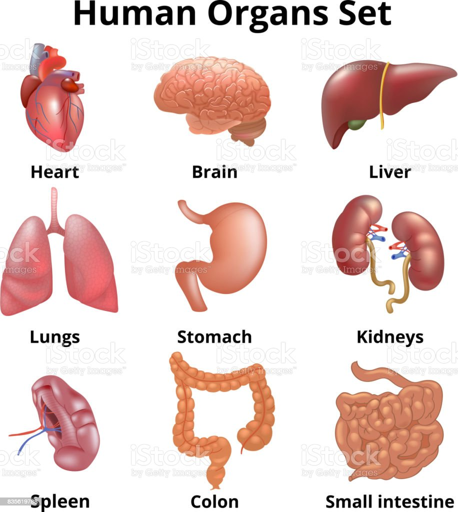 Realistic human organs set anatomy vector art illustration