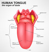 Realistic Human tongue structure