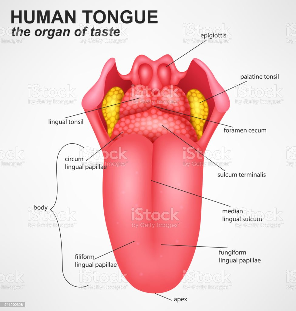 Realistic Human tongue structure vector art illustration