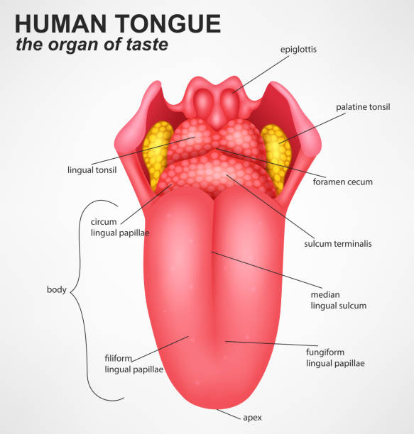 stockillustraties, clipart, cartoons en iconen met realistic human tongue structure - mensentong