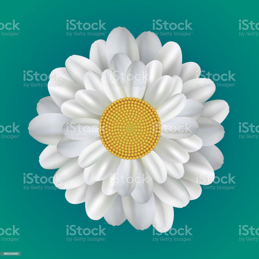 Realistic illustration of a daisy. Vector element for your creativity vector art illustration