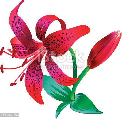 Realistic illustration of red tiger lily isolated on white background. One flower, bud and several leaves