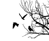 Realistic illustration with silhouettes of three birds - crows or ravens sitting on tree branch without leaves and flying, isolated on white background - vector