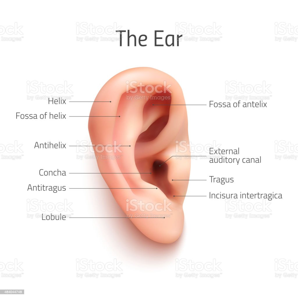 Realistic Infographic Ear Icon Stock Vector Art & More Images of ...
