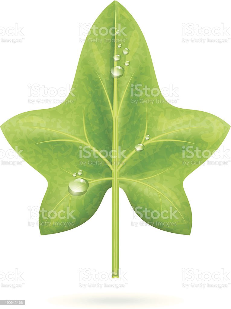 Realistic Ivy Leaf With Dew Drops vector art illustration