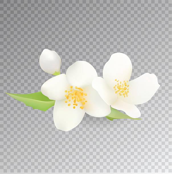 Top 60 Jasmine Flower Clip Art, Vector Graphics And
